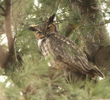 Grand Duc - Great-horned Owl