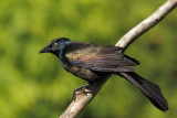 Quiscale - Common Grackle