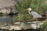 Grand Heron - Great Blue Heron