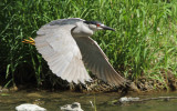 Bihoreau Gris - Black-crowned Night Heron