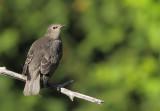 Étourneau Sansonnet - Common Starling