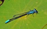Lilypad Forktail