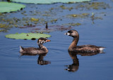 Pied-billed Grebe & young