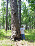 Giant Shortleaf Pine