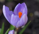 Crocus Close Up