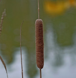 Cattail in the Park Lake