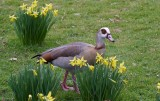 Mother Goose waddles into Spring