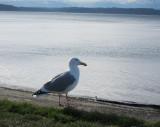 Seattle Sea Gull