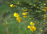 New Scotch Broom