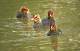 Swim Lessons for Baby Coots