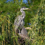 Baby Heron Nest