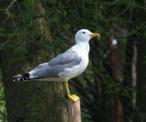 Gull Pose
