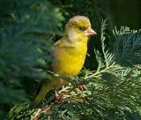 Male Green Finch