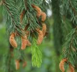 New Pine