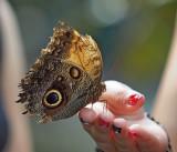 Giant Owl Butterfly (Caligo Eurilochus -Bananenfalter)
