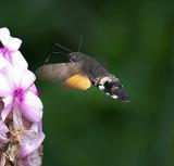 Hummingbird-Hawk Moth
