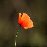 11 11 11 Poppy