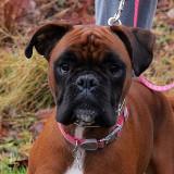 Bailey the Boxer