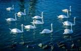Swan Meet Up