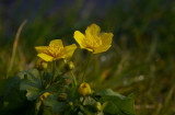 Kingcup (Marsh Marigold)