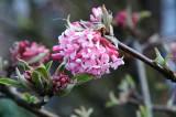Viburnum bodnantense in the garden