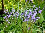 Bluebells in the garden