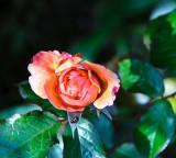 Rose and ladybird