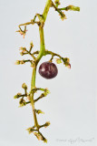 The Last Grape
