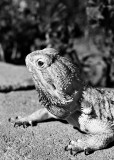 A Friends Bearded Dragon Lizard