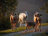 Vaches du soir à Castet