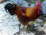 Coq gaulois susceptible