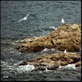 seagulls (ii)