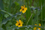Yellow Violet