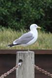 California Gull - IMG_3298.JPG