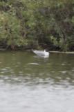 Bonaparte's Gull - IMG_3303.JPG