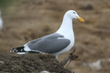 Western Gull - IMG_3367.JPG