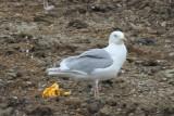 Glaucous-winged Gull - IMG_3379.JPG