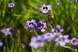 Blue-eyed Grass (Sisyrinchium bellum)