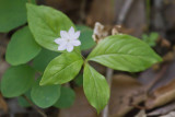 Pacific Starflower (Trientalis latifola)