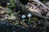 Little parasol mushrooms