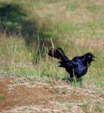 Quiscale noir / Quiscalus niger (Greater Antillean Grackle )