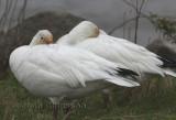 Oie des Neiges ( Snow Goose )  Chen caerulescens