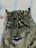 Léopard Des Neiges ( Snow Leopard ) Uncia Uncia