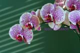 Orchidées / Orchids / Phalaenopsis