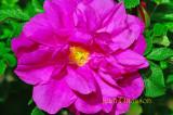 Rose / Pink  / Rosa /