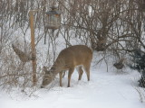 P2090017Deer at the bird feeder.JPG
