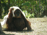 P1130085It was too cold for this orangutan.JPG