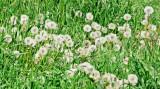 dandelions-sk.jpg