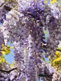 wisteria-sk.jpg