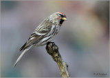 Possible Greater Redpoll